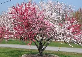 imagespeach blossom