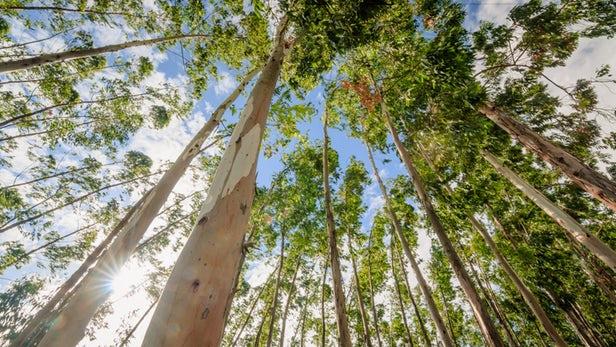 green-graphene-gum-trees-1