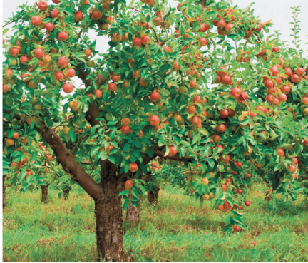 apple_trees_how_to_prune_a_tree_Rocky_Mountain_Fruit_and_Vegetable_Gardening